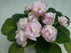 ЛЕ-Парнасская Роза - цветущий куст