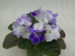 ЛЕ-Ванда - цветущий куст