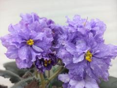 РС-Льдинка - цветущая