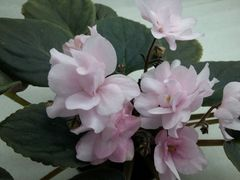 Magnolia (Магнолия)