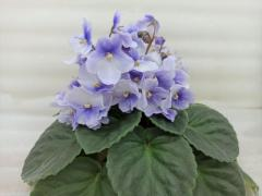 Lora (Лора) - цветущий куст