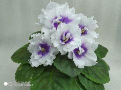 ПТ-Лариса - цветущий куст