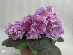 ПТ-Танцующая Гейша - цветущий куст