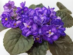 Пурпурный Мираж